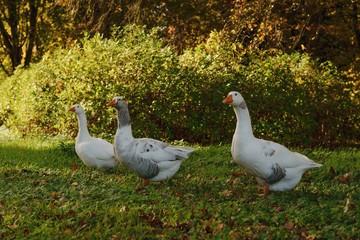 Twente goose in the park...
