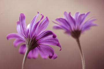 Leinwandbilder - Fioletowe kwiaty