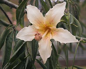 Flor blanca del árbol  Ceiba speciosa