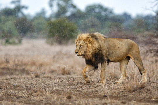 Dominant male lion walking in the rain in Kruger National Park in South Africa