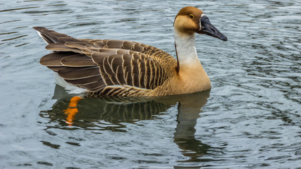 Goose swimming in the water with reflections