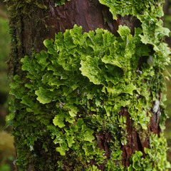 Green fungus lichen on side of tree- delicate life at risk with global warming