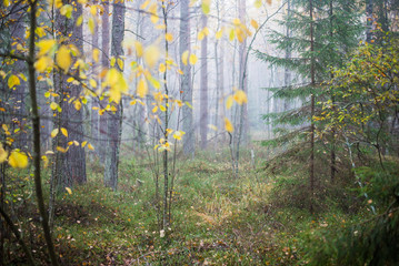 Cloudy autumn day in the forest. Morning fog and green pine trees. Kemeri. Latvia