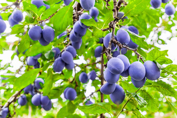 Plum tree colorful close-up branches in orchard with lots of fruit