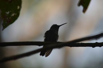 silueta de un colibrí