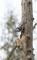 Nuthatch on a tree in winter