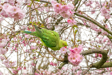 Ring Necked parakeet on blooming cherry tree in spring