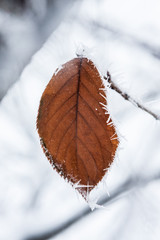 Brown leaf with frost