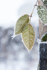 Frosted green leaves