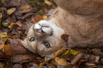 Wall Mural - Cougar (Puma concolor) Rolls in Autumn Leaves