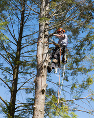 A professional arborist working on removing a tree.