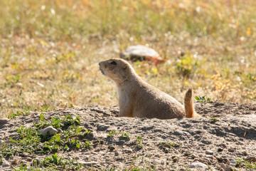 Prairie Dogs cavorting around
