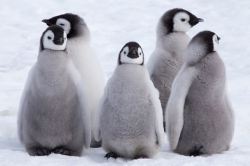 Fototapeten Pinguin Emperor Penguin Chicks looking in different directions at Snow Hill Emperor Penguin Colony, October 2018.