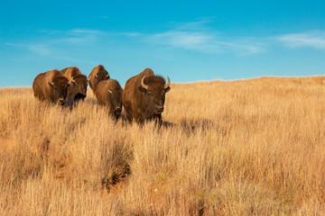 Bison of South Dakota