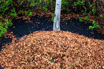 Raked leaves in a pile under a tree