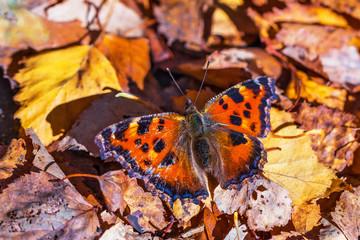 Крапивница — дневная бабочка из семейства Нимфалиды (лат. Aglais urticae)