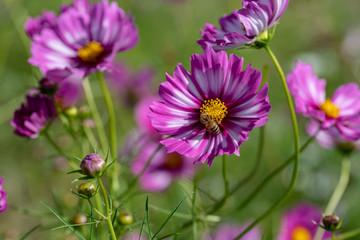 ピンク色のコスモスの花と蜜蜂