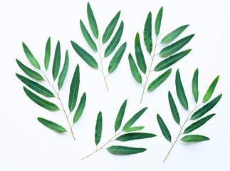 Eucalyptus branches on white background