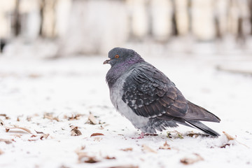 One pigeon on a white snow