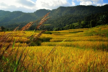 The golden fields are stepped up, with the blue sky and white clouds as the background.