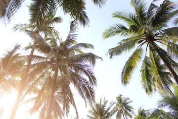 tropical coconut palm leaves tree for summer background