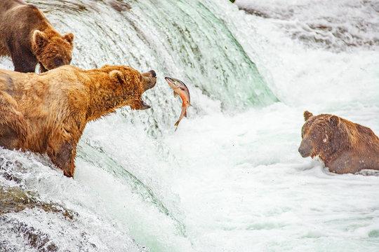 Grizzly bears fishing for salmon at Brooks Falls, Katmai NP, Alaska