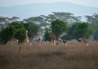 giraffes group under the sky