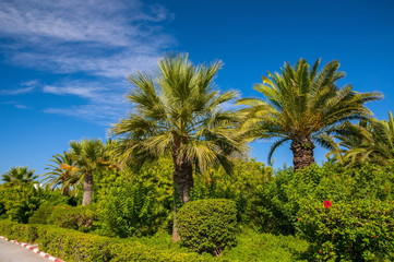 Date palms with a blue clear sky in Hammamet Tunisia