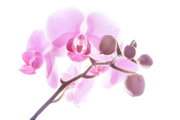 Door stickers Orchid Rosa Orchidee