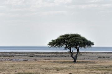 acacias in etosha in Namibia