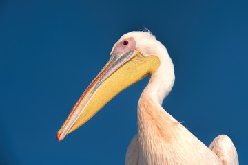 white pelican in Namibia