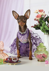 Funny toy Terrier puppy dressed in a dress and beads