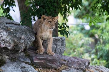 Löwenbaby auf Felsgestein