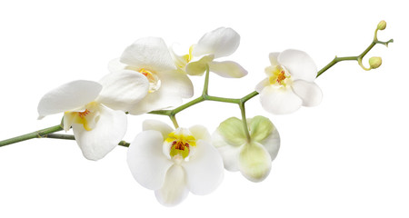 Foto op Textielframe Orchidee White orchid isolated on white