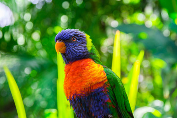 Colorful rainbow lorikeet parrot