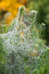 Eibenzweige im Spinnennetz