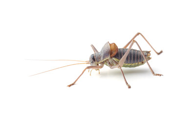 Male of saddle-backed bush cricket (Ephippiger ephippiger)  isolated on white