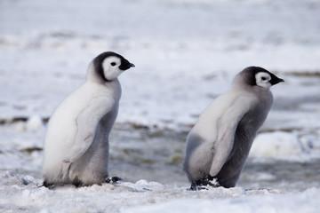 Tuinposter Pinguin Emperor Penguin Chicks at Snow Hill Emperor Penguin Colony, October 2018.
