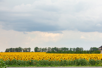 Sunflower natural background. Sunflower bloom. A field with sunflowers