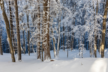 Pine trees covered with snow on frosty evening. Beautiful Carpathian winter panorama
