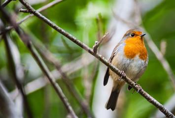 Little red robin bird on a tree twig