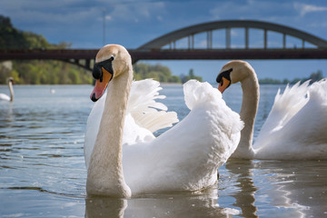 Peaceful white swans floating on Vah river near brudge (Piestany, Slovakia)