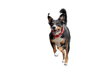 Rennender Hund freigestellt
