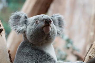 Foto op Plexiglas Koala Koala