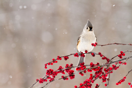 A close up of a tufted titmouse on a branch of berries