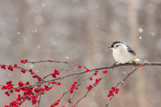 A nuthatch perched on a branch of berries in winter