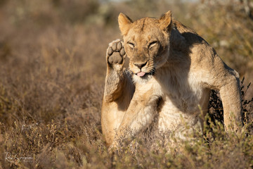 Grooming lioness