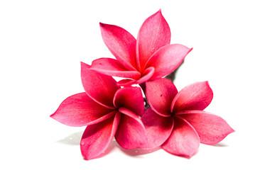 plumeria frangipani flowers isolated on white background