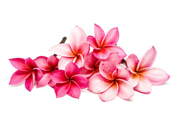 plumeria frangipani flowers isolated on white background