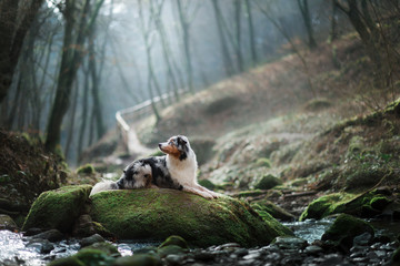 dog in nature in the morning. Australian shepherd at sunrise in the forest near the water. Pet for a walk